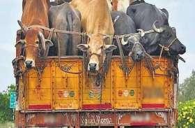 मवेशी परिवहन के मौजूदा कानून पशु कल्याण विरोधी