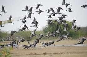 साइबेरियन पक्षी कुरजां के वतन वापसी का दौर शुरू