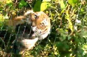 पाँच घंटा तक फंदे में फंसा रहा बाघ, वन विभाग ने आजाद कराया