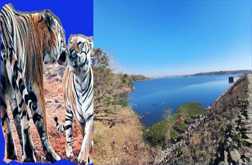 कलियासाेत डैम : पहली बार बाघ-बाघिन का जाेड़ा दिखा, अब ऐसे रखेंगे इन पर नजर