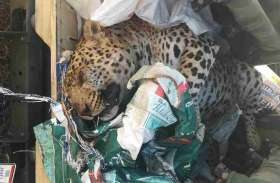 VIDEO: पीपलखूंट के जंगल में मृत मिला पैंथर, मौत के कारणों में जुटा वन विभाग