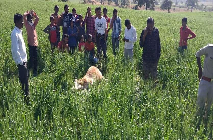 बाघ ने किया मवेशी का शिकार, ग्रामीण परेशान