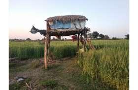 खड़ी फसलों को नुकसान पहुंचा रहे जंगली जानवर