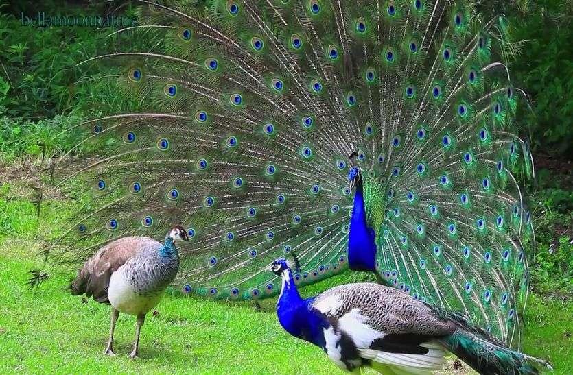 Peacock: राज्य में कितने मोर, ना सरकार जानती ना वन विभाग