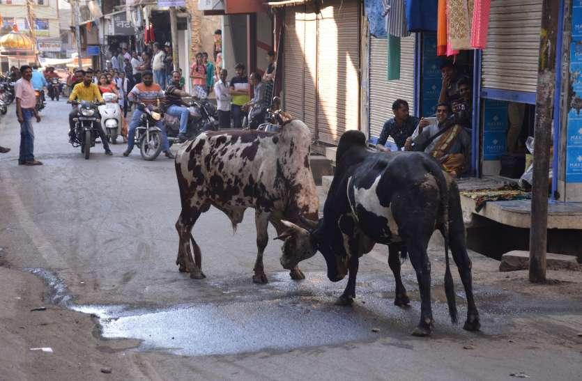 एमजी रोड पर आधे घंटे लड़े सांड, यातायात जाम