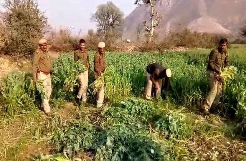 माधोगढ़ में गेहूं के बीच हो रही थी अफीम की खेती