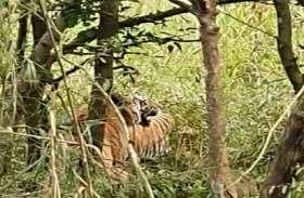 पीलीभीत: बाघ-बाघिन का जोड़ा कैमरे में हुआ कैद- देखें वीडियो