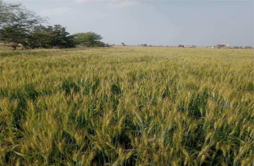 कोरोना वायरस के डर से ग्रामीण घरों में कैद हुए लोग, खेतों में खड़ी को फसल को काटने नहीं मिल रहे मजदूर