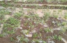 किसानों की उम्मीद पर गिरे ओले, 4 जिलों के 87 गांवों की फसलें बर्बाद, भारी नुकसान