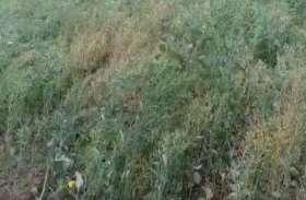ओलावृष्टि से दलहनी व तिलहनी फसलों को भारी नुकसान, किसानों ने अगर किया है यह काम तो सरकार देगी मुआवजा