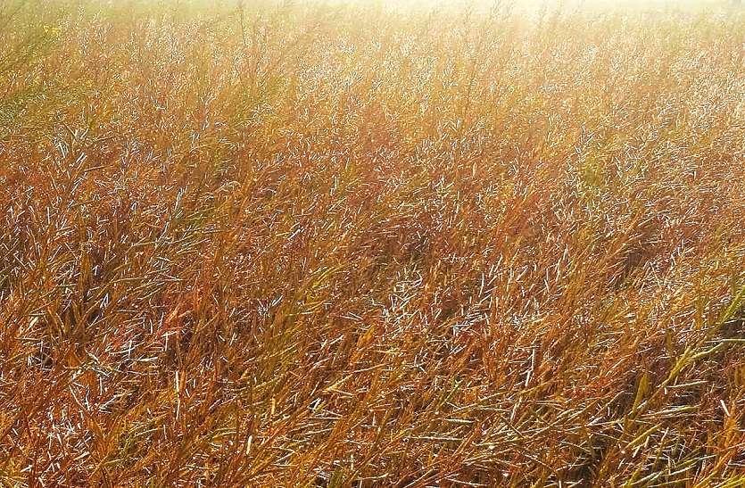 किसानों पर ओलावृष्टि की मार...31 सौ हैक्टेयर में फसल को नुकसान