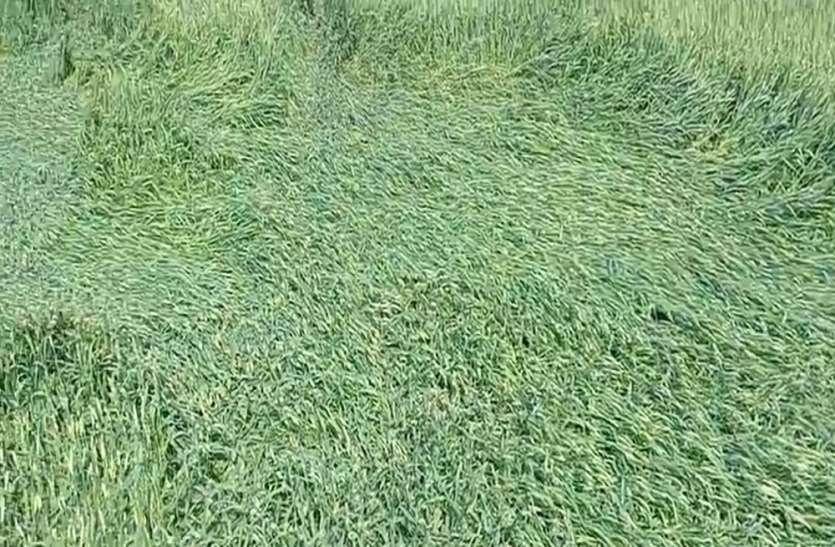 रिमझिम बारिश के बाद हवाओं ने बरसाया प्रकोप, इन फसलों को नुकसान, क्या बोले किसान जानिए