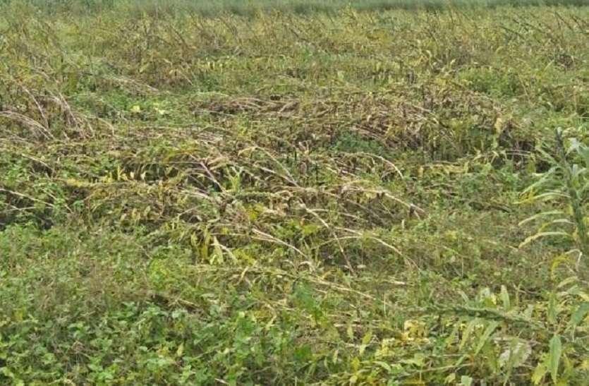 ओलावृष्टि से किसानों की फसलें चौपट, भारी नुकसान
