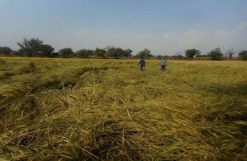 नागौर में बारिश व ओलावृष्टि ने मचाई तबाही, रबी की फसलें तहस-नहस