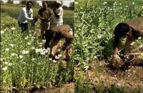 गेहूं के फसल के बीच कर रहा था अफीम की खेती, पुलिस पहुंची तो आरोपी ने हाथ जोड़कर कही ये बात...
