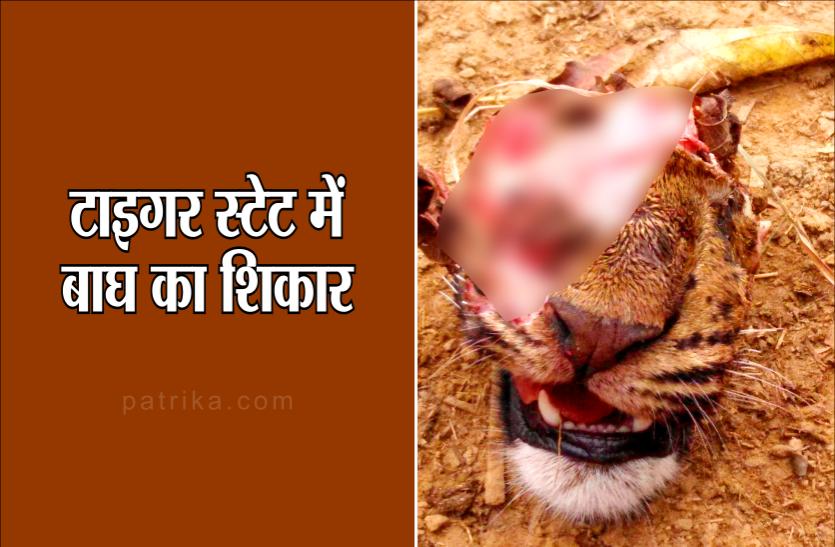 टाइगर स्टेट में एक और बाघ का शिकार, जानिए कितनी सच है यह तस्वीर