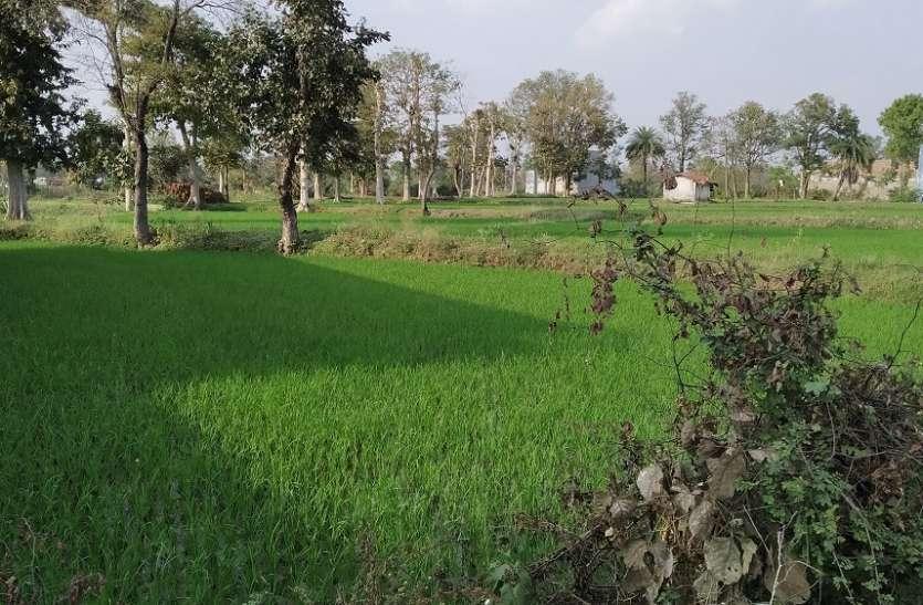 गर्मी में धान उत्पादन 'पानी बर्बाद कर रहा 'किसान