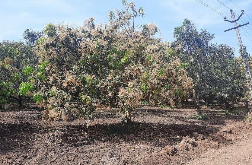 Unseasonal rains News: बौर से लदे थे आम के पेड़, बरसात ने कर दिया चौपट