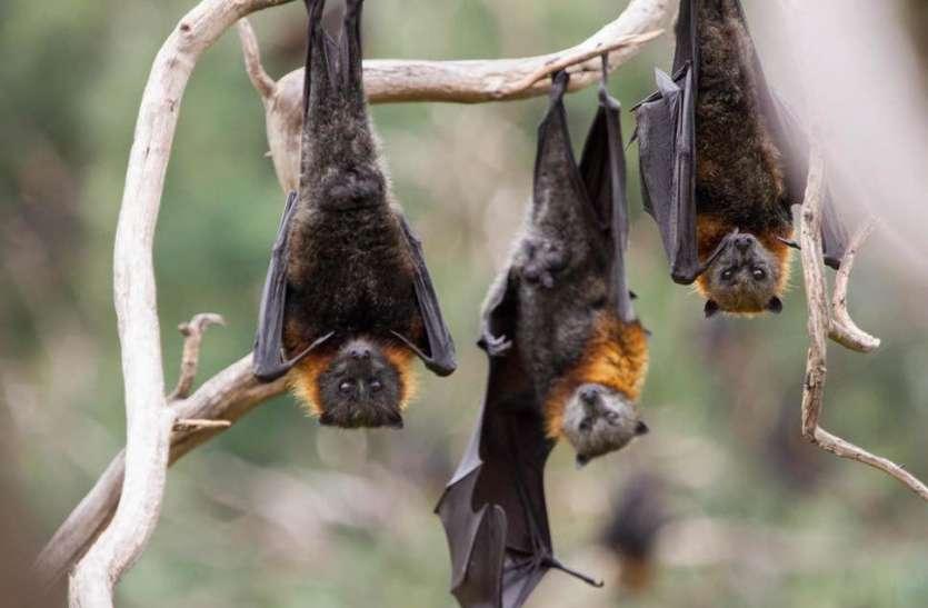 Why Do Bats Hang Upside Down On Trees - चमगादड़ पेड़ पर क्यों उल्टा लटकते  हैं? जान लीजिए इसके पीछे की वजह | Patrika News