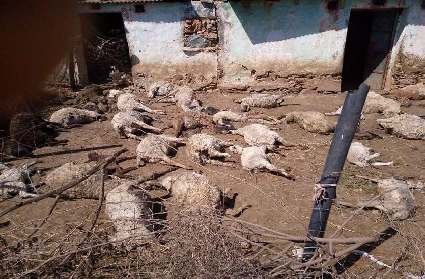 पैंथर का हमला: 48 भेड़ों की मौत, 20 घायल
