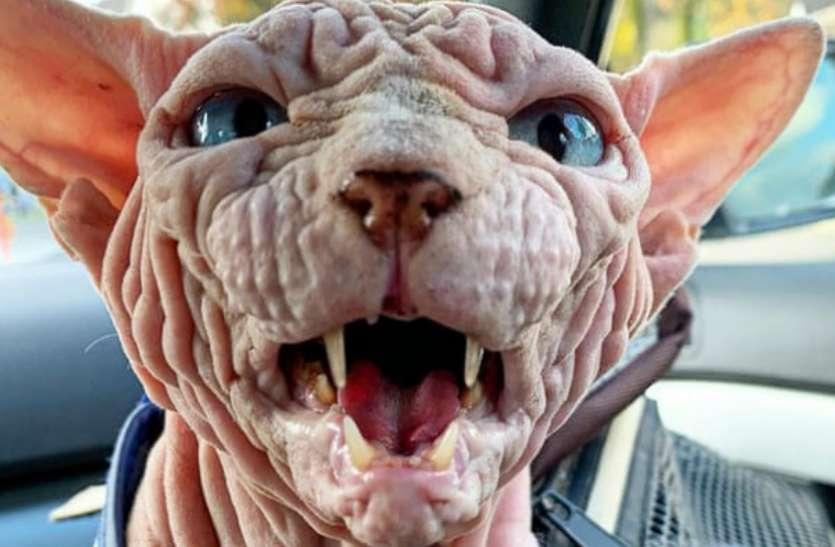 ये है दुनिया की सबसे डरावनी बिल्ली, तस्वीरें देख निकल जाएगी आपकी चीख