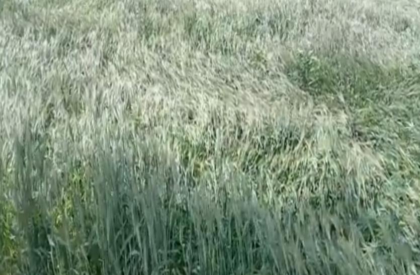 खेतों में खड़ी किसानों की 70  हजार हेक्टेयर फसल