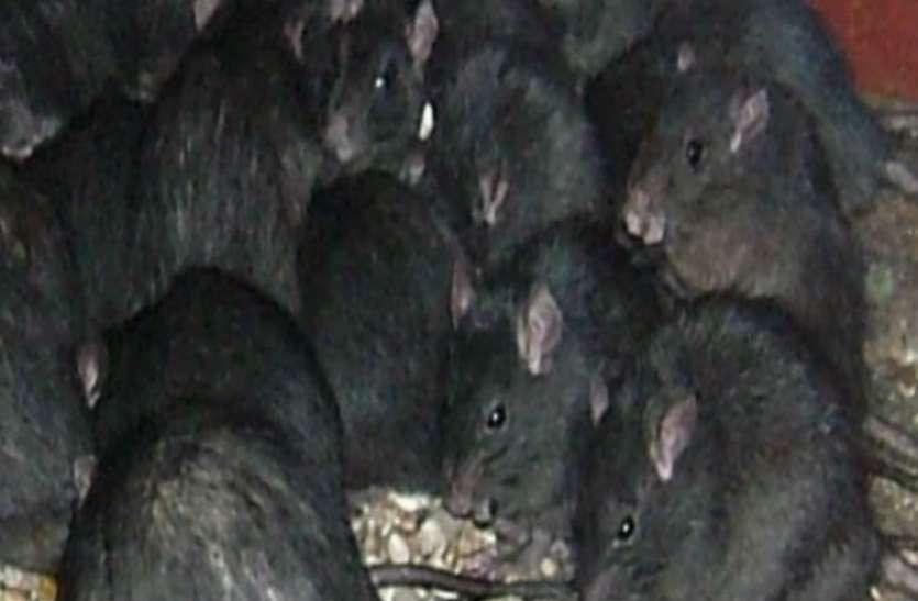 अगर घर में बहुत संख्या में घूमने लगे काले रंग के चूहे तो समझ लीजिए कि...