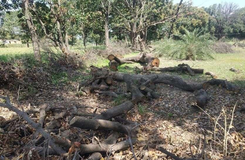 हरे-भरे पेड़ों पर चल रही कुल्हाड़ी, आनन-फानन में पहुंचा अमला