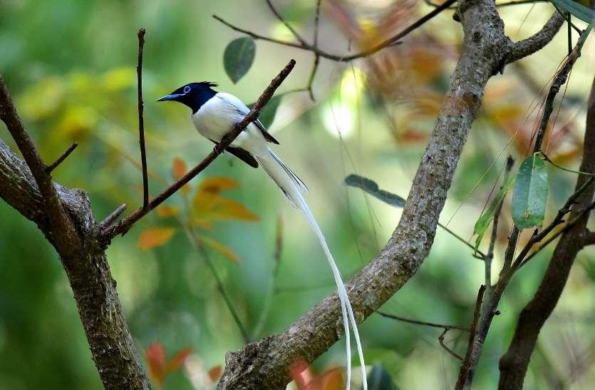 दूधराज : मादा से ज्यादा शर्मीला होता है नर पक्षी