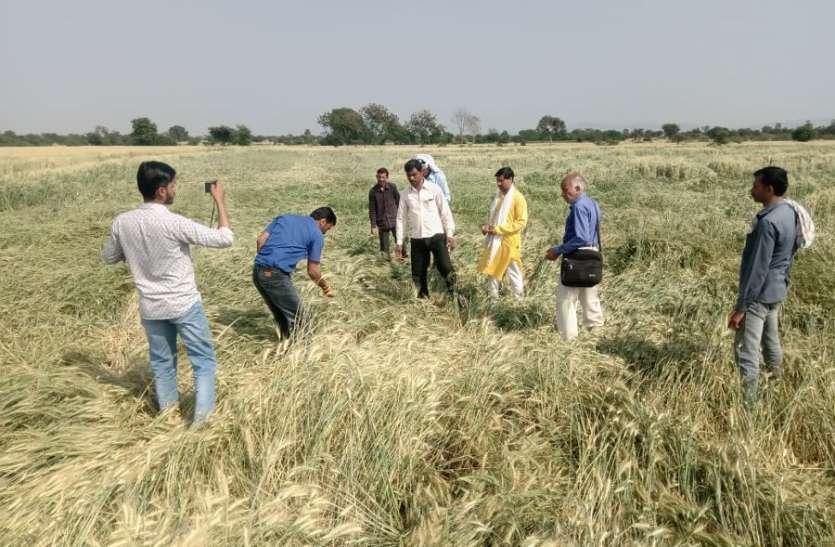 आफत की बारिश: 32 गांवों की हजारों एकड़ गेहूं फसल बर्बाद, किसानों ने कहा कि 70 फीसदी की नुकसान