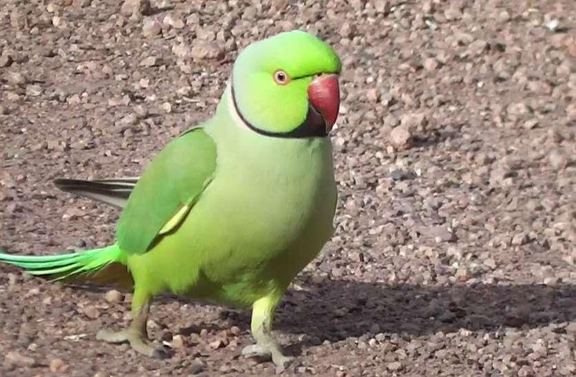 तोता की तस्करी जोरों पर, नशीला पदार्थ खिलाकर लक्जरी गाड़ियों  से हो रही सप्लाई