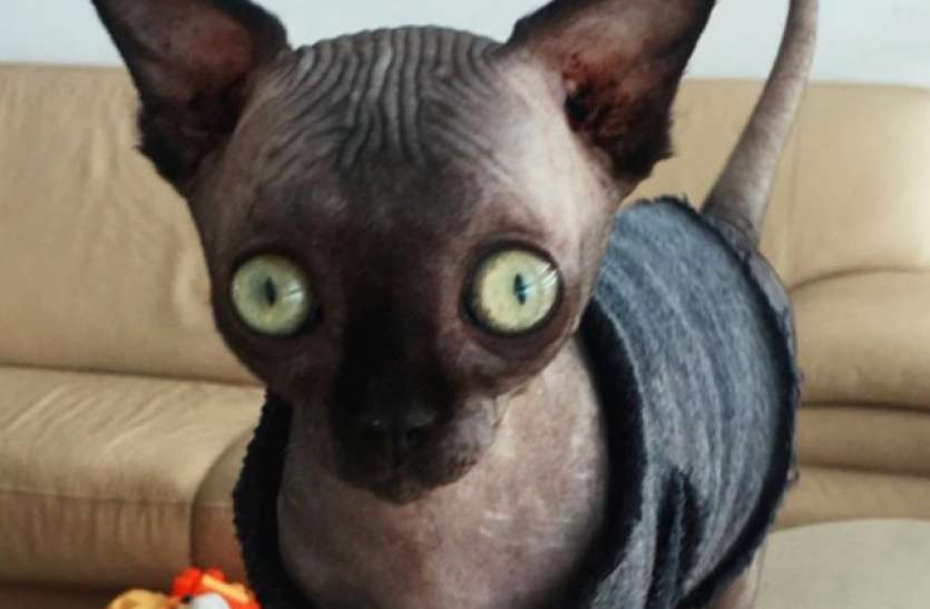 चमगादड़ जैसी दिखती है यह विचित्र बिल्ली, सोशल मीडिया पर  तगड़ी फैन फॉलोइंग