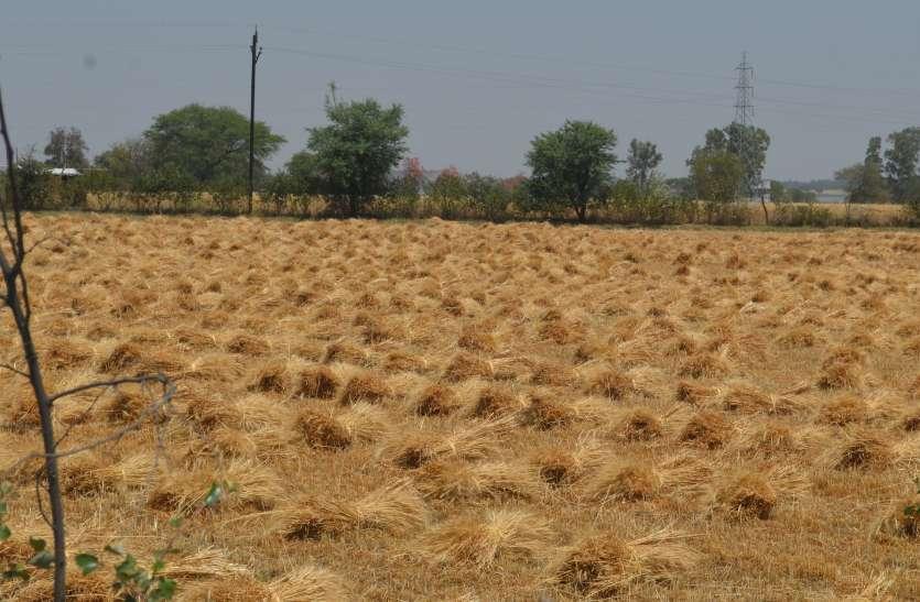 फसल कटाई करने मजदूरों का टोटा, डेढ़ गुना ज्यादा मजदूरी पर भी नहीं मिल रहे