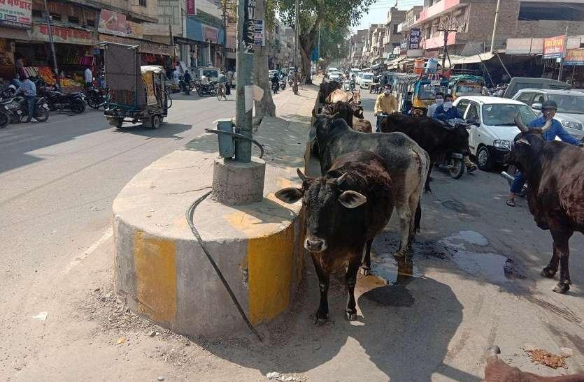 श्रीगंगानगर में लॉक डाउन का व्यापक असर अब पशुओं पर भारी असर, एक हजार निराश्रित पशु खाने को तरसे
