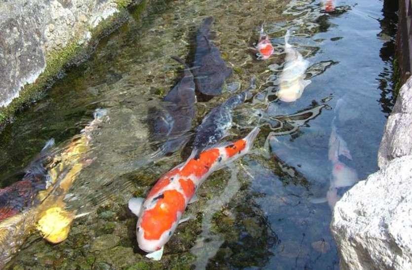 जापान के इस शहर की नालियां इतनी स्वच्छ कि तैरती हैं मछलियां