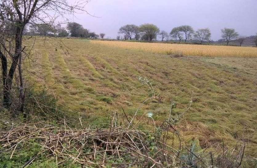 खेतों में तैयार हो रही रबी की फसल, कटाई बनेगी चुनौती