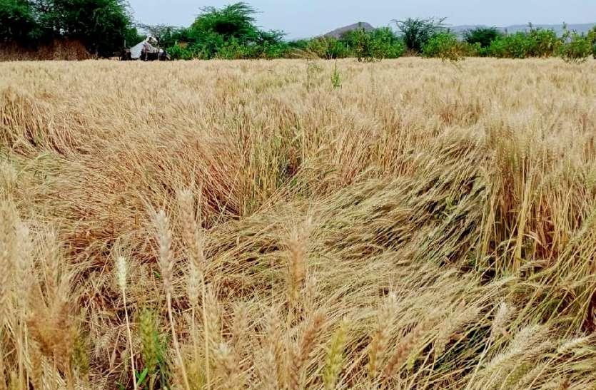 बारिश से फसलों को हुआ नुकसान, किसानों की बढ़ी चिंता