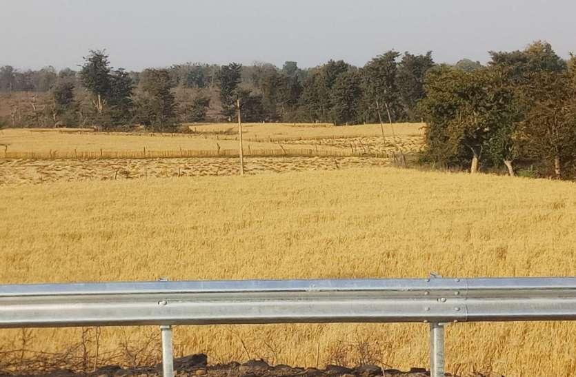 आफत में किसान: पककर खड़ी हुई फसल, कटाई और थ्रेसिंग किसानों के लिए चुनौती
