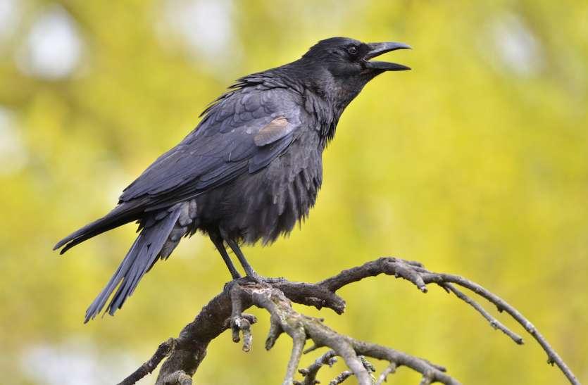 कोरोना (कोविड) से मिलते जुलते नाम के प्रजाति वाले कौवे होते हैं चालाक, जानें इनके हर काम में माहिर होने की वजह