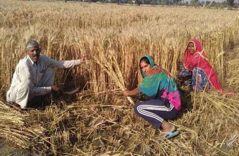 मारवाड़-गोड़वाड़ में हुई बारिश ने किसानों की बढ़ाई चिंता, तीस फीसदी फसलों में खराबे की आशंका