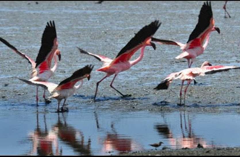 बड़े साइज का रेयर पक्षी है 'ग्रेटर फ्लेर्मिगोÓ, समुद्र किनारे बनाता है बसेरा