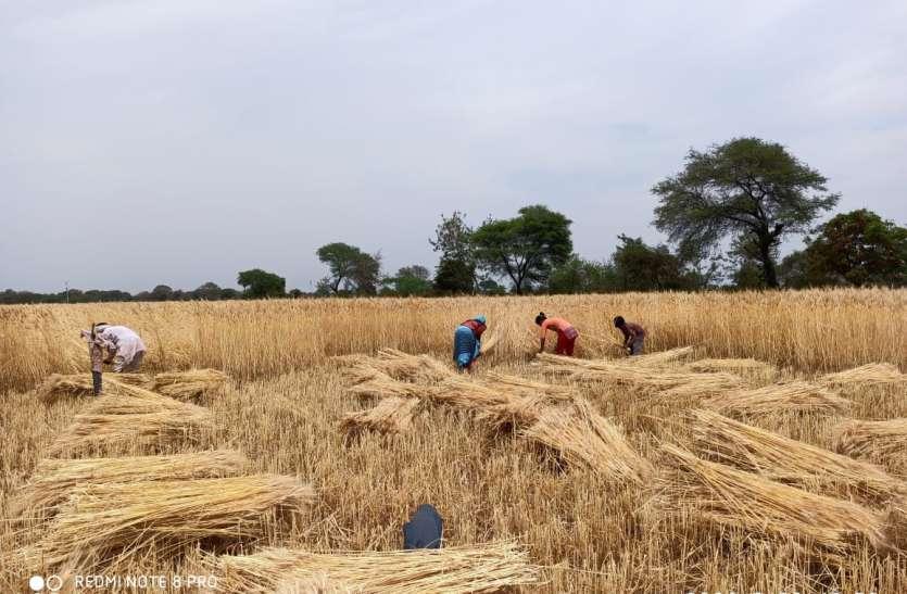 खेतों में खड़ी फसल को काटना बना चुनौती