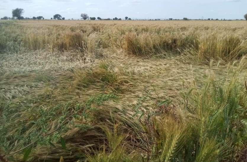 बेमौसम बारिश ने बढ़ाई किसानों की मुश्किलें