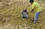 मध्य प्रदेश में आफत की बारिश, गेहूं-चने की फसल हुई बर्बाद