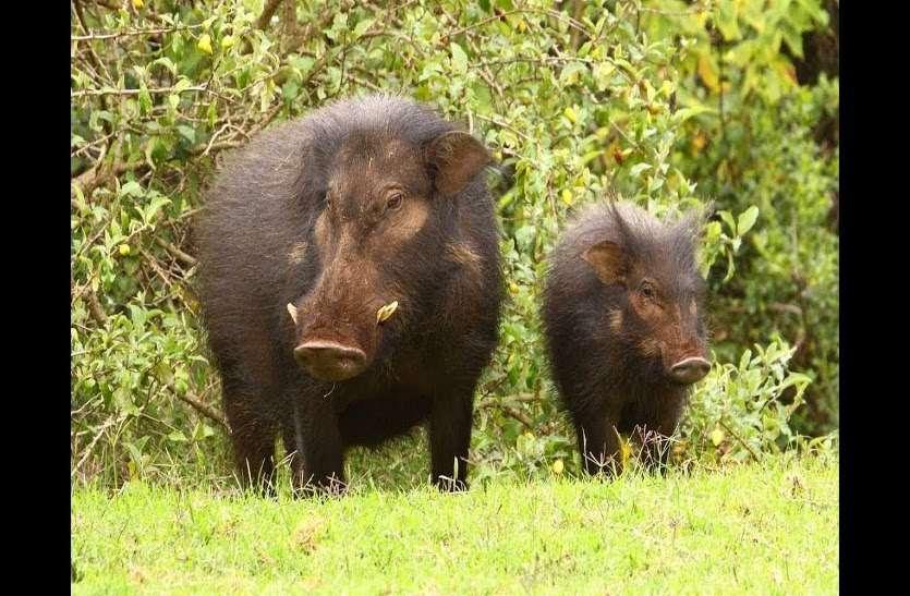 ब्रश करने नल के पास गए 4 ग्रामीणों पर जंगली सूंअर ने किया हमला, फिर.......