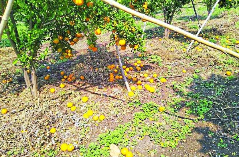 संतरा उत्पादक किसान कोरोना के साथ-साथ प्राकृतिक आपदा की मार झेल रहे है
