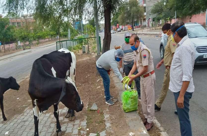 लॉक डाउन में पुलिस ने पशु-पक्षियों को डाला दाना-पानी,गायों को चारा