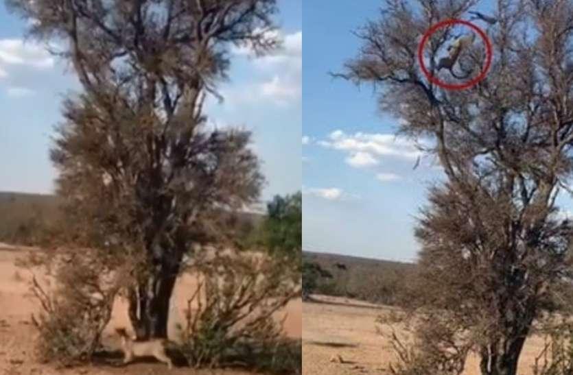 Video: तेंदुआ से बचने के लिए पेड़ पर चढ़ गया बंदर,  हवा में ही हो गया शिकार