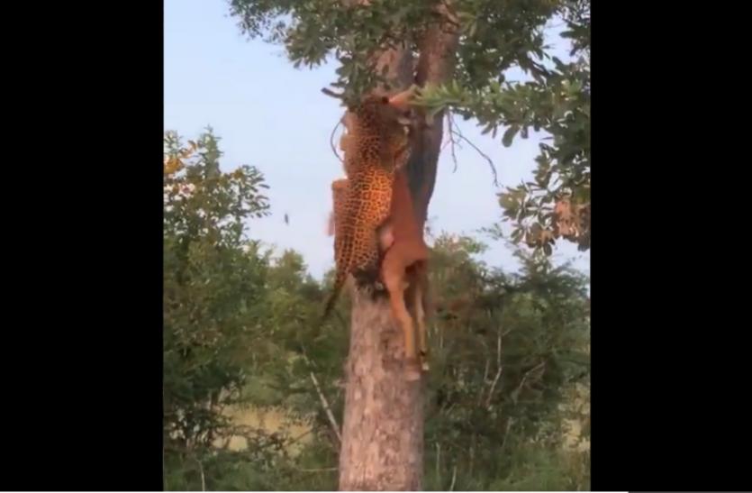 हिरण को लेकर पेड़ पर चढ़ा तेंदुआ, डाली पर बैठकर किया शिकार