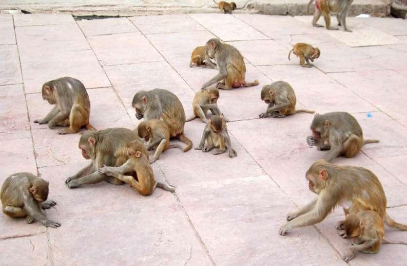 लॉक डाउन इफेक्ट : कान्हा की नगरी मथुरा में भूख से तड़प रहे बंदर